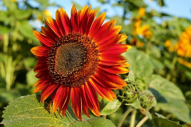 rudá slunečnice