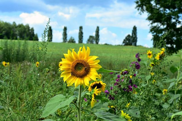 slunečnice u pole